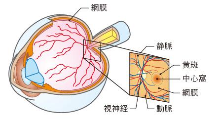 網膜・静脈・視神経・黄斑・網膜・動脈